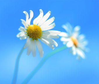 【PPT白菊背景】高質量的5張PPT白菊背景模板下載,靜態白色花朵素材的簡報格式