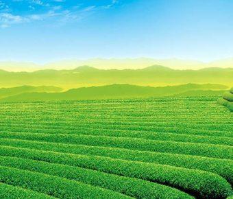 【PPT茶園背景】細緻的2張PPT茶園背景模板下載,靜態茶山圖案素材的佈景格式檔
